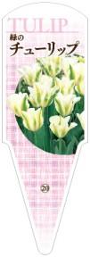 チューリップ No.20  一重咲き 緑に白