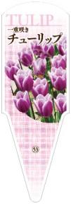 チューリップ No.53  一重咲き 紫に白